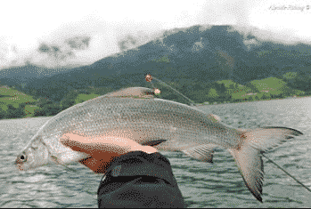 32. Internationales Hegefischen auf die Zeller Renke